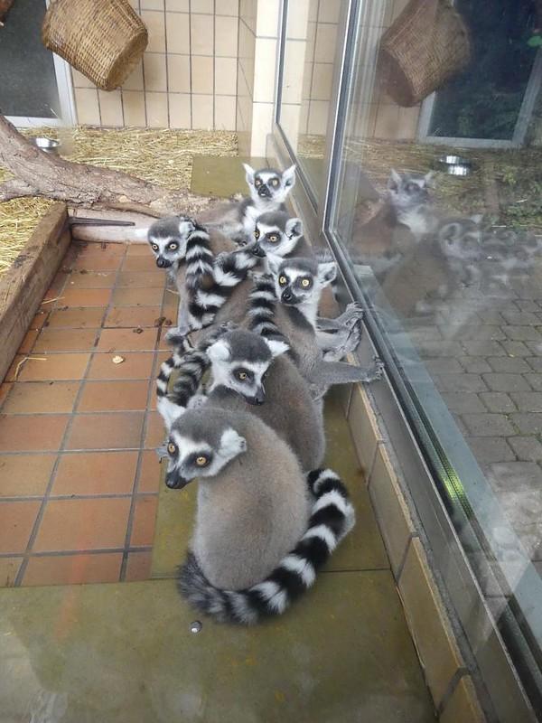 Katta, Zoo Landau
