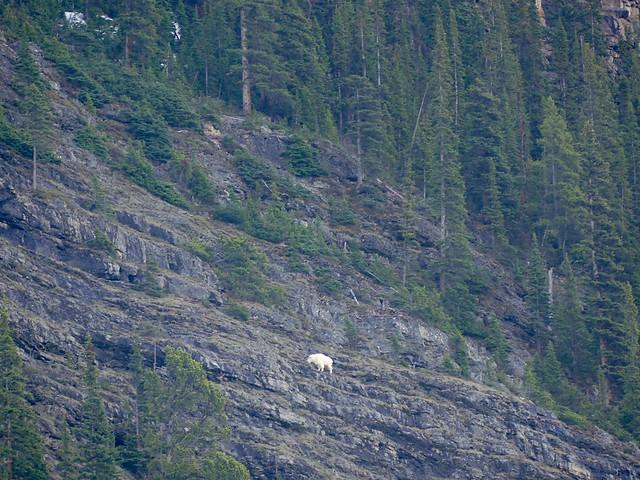 37 Mountain Goat