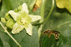 Solitary bee approaching white bryony