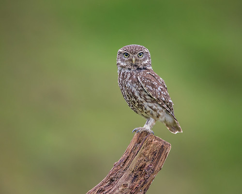 Little owl june 30th (1 of 1)-2