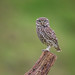 Little owl june 30th (1 of 1)-2 by den9112