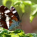 White Admiral by Robin M Morrison