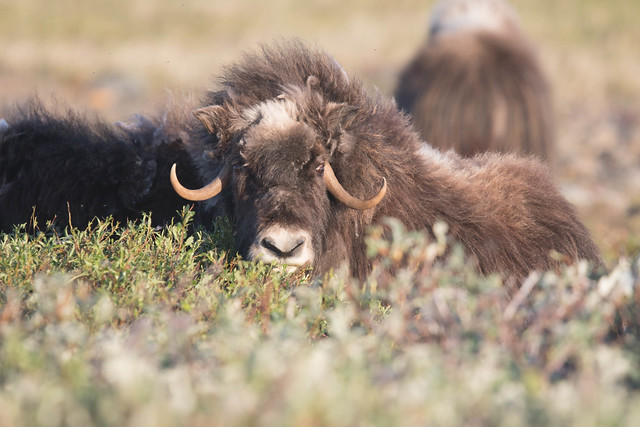 Muskox 4, Canon EOS 7D MARK II, Canon EF 400mm f/4 DO IS