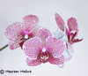 Magenta Mosaic Orchid