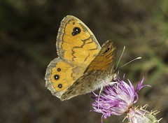 Wall Brown Butterfly (wild)