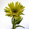 Compass Plant (Silphium laciniatum)