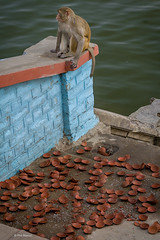 monkey amongst trashed tea cups - Varanasi, India