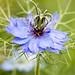 Small photo of Love-in-a-mist - Nigella damascena
