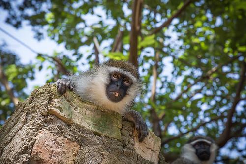 2017 africa botanicalgarden eastafrica entebbe entebbebotanicgardens june uganda vervetmonkey monkey centralregion ug yourbestoftoday flickrtravelaward