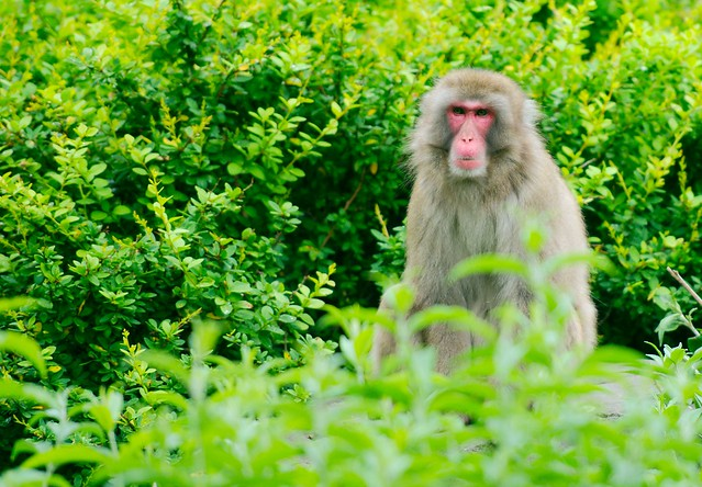Japanese Macaque_6