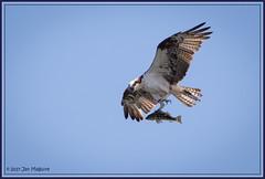 Osprey Fly-By 4596