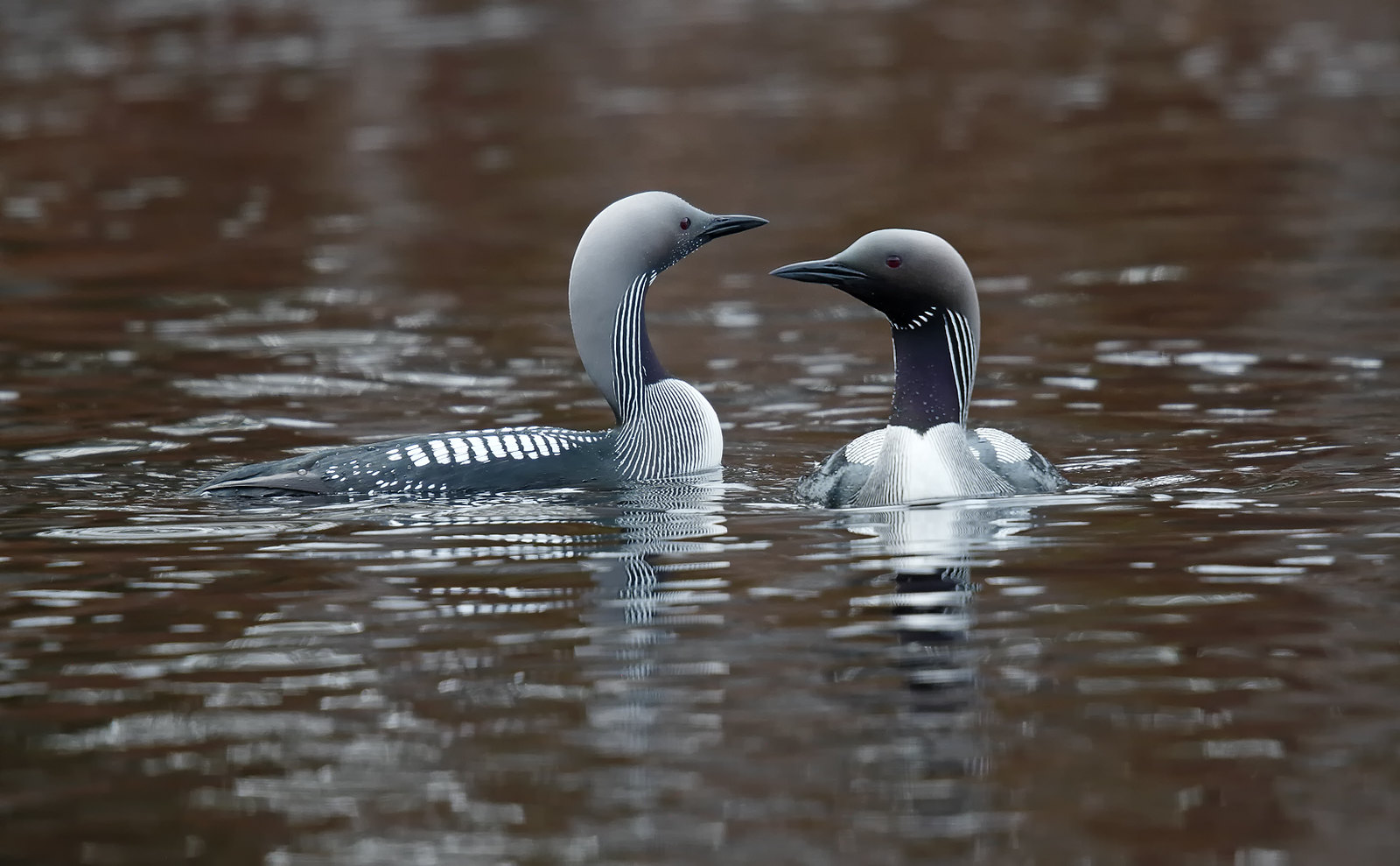 Black-throated Divers