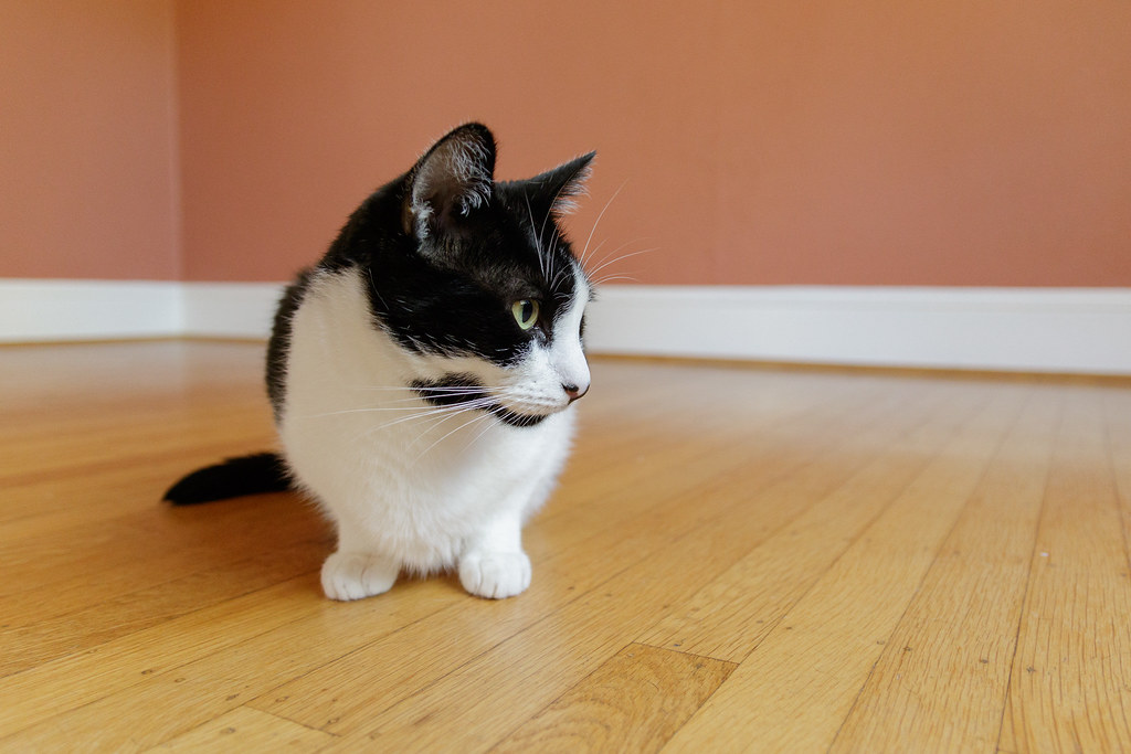 Our black-and-white cat Boo on the hardwood floor of the dining room