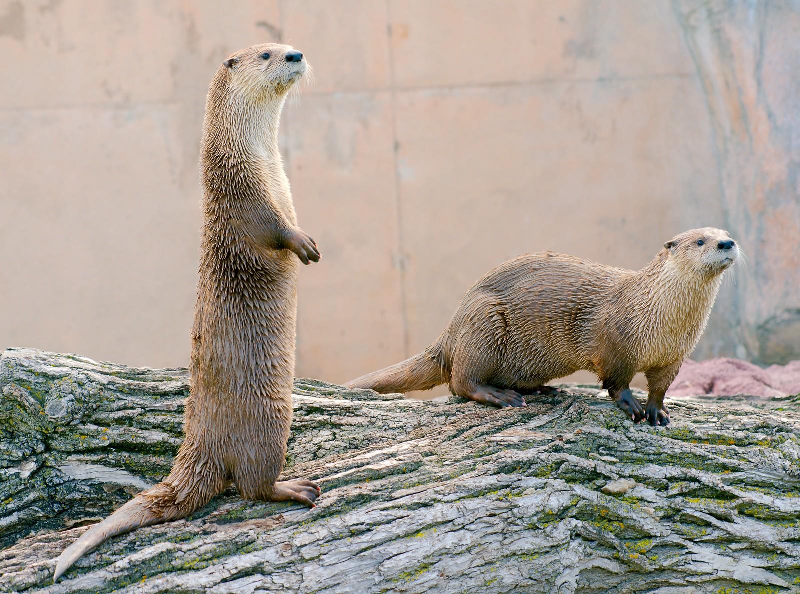 Otter_12