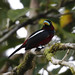 Black-and-red Broadbill (David Griffiths)