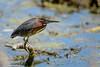 Green Heron-48045.jpg