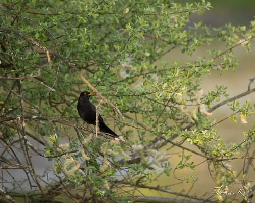Un merle noir dans son arbre - Hellwasser - Dalhunden - Alsace - France.