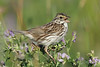 Savannah Sparrow - Jun-25-2017 (8-1)