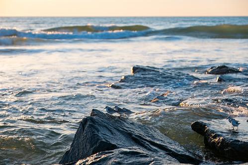 shorebirds nature ocean sea atlantic nj new jersey rocks waves wildlife