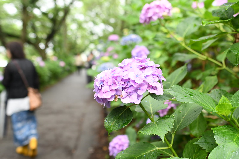雨に濡れた紫のアジサイ