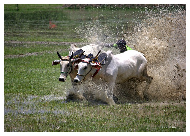 Moichara Cattle race festival#1,West Bengal