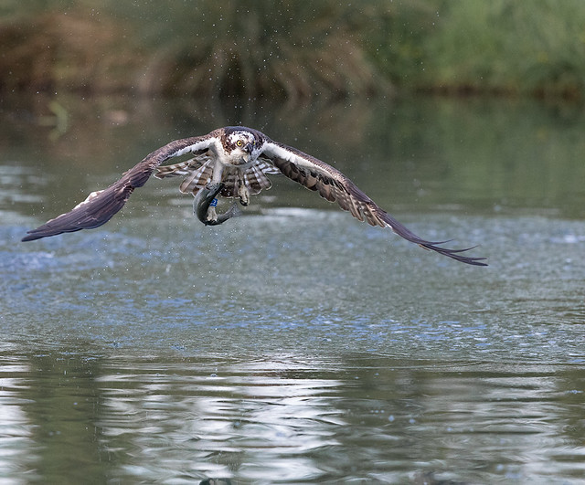 Osprey, Canon EOS 5D MARK IV, Canon EF 300mm f/2.8L IS II USM