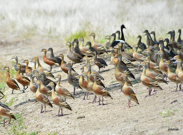 Plumed Whistling Duck, Wandering, Nikon D4, AF VR Zoom-Nikkor 80-400mm f/4.5-5.6D ED