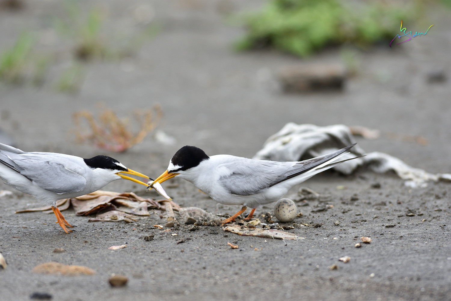 Little_Tern_4249