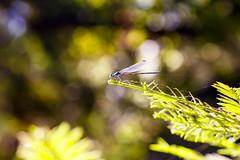 Dragonfly at Big Sur