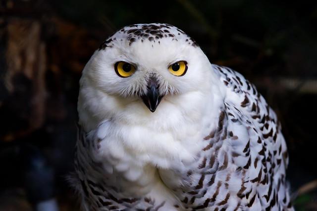 Female Snowy Owl : メスのシロフクロウ