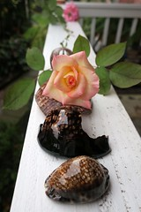rose and shells