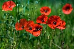 coquelicots - poppies - Mohnblumen