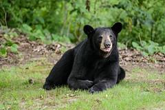 Bears-4