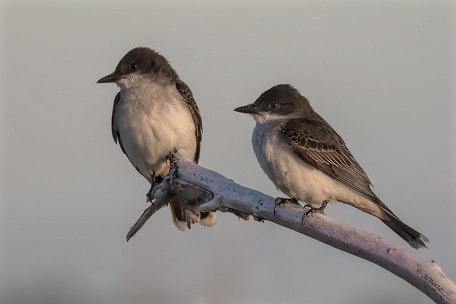 Eastern Kingbirds / Tyran tritri