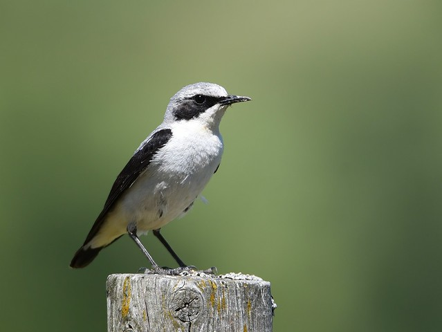 Chasco-cinzento / Northern Wheatear