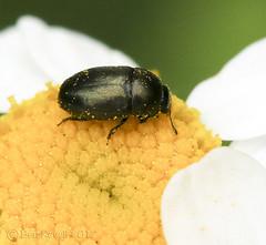 HolderMeligethes pos. aeneus - Pollen Beetle  #2