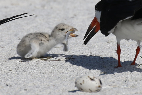 black skimmers chicks egg feeding eating nesting stpete beach 7dm2 canon
