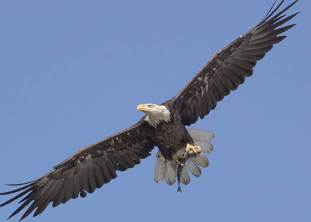 Bald Eagle, Canon EOS-1D X MARK II, Canon EF 100-400mm f/4.5-5.6L IS II USM + 1.4x