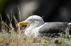 Sleepy Gull