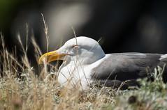 Sleepy Gull