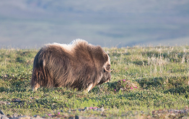 Muskox 5, Canon EOS 7D MARK II, Canon EF 400mm f/4 DO IS