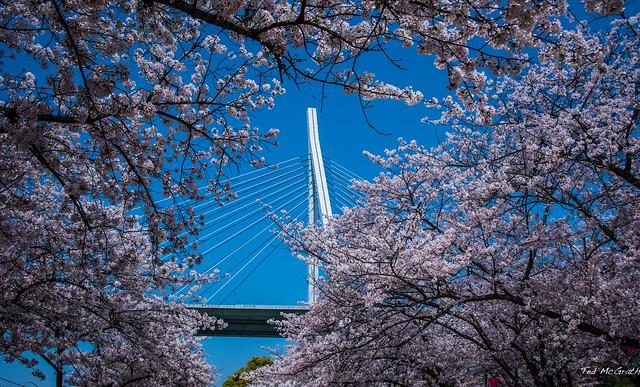 2017 - Japan - Osaka - Sakura - 11 of 25
