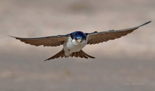 House Martin (explored)