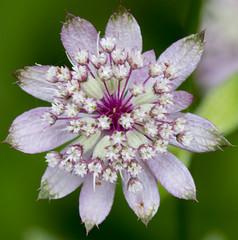 Pink silver star flower