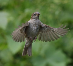 HolderYoung House Sparrow in flight.