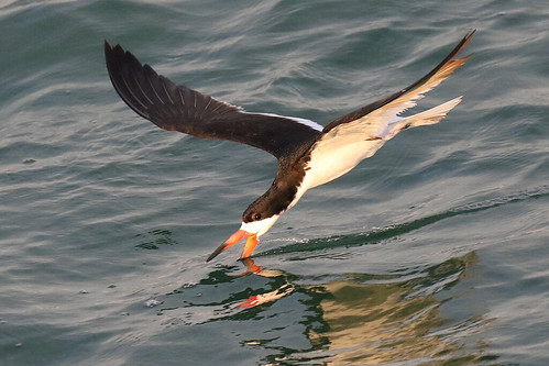 black skimmers skimming bird wildlife nature sunset ft desoto stpete florida 7dm2 canon