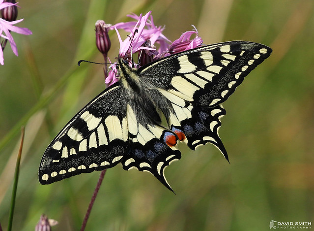 DSP01450 - Swallowtail Papilio, Canon EOS 7D MARK II, Canon EF 100-400mm f/4.5-5.6L IS II USM