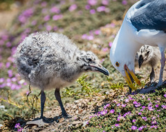 Western Gull Chicks and Mom