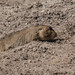 Giant Mole-rat (Tim Melling)