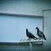Mind the pigeon